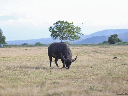 image-buffalo-bull-baluran-national-park-java-golden-tour